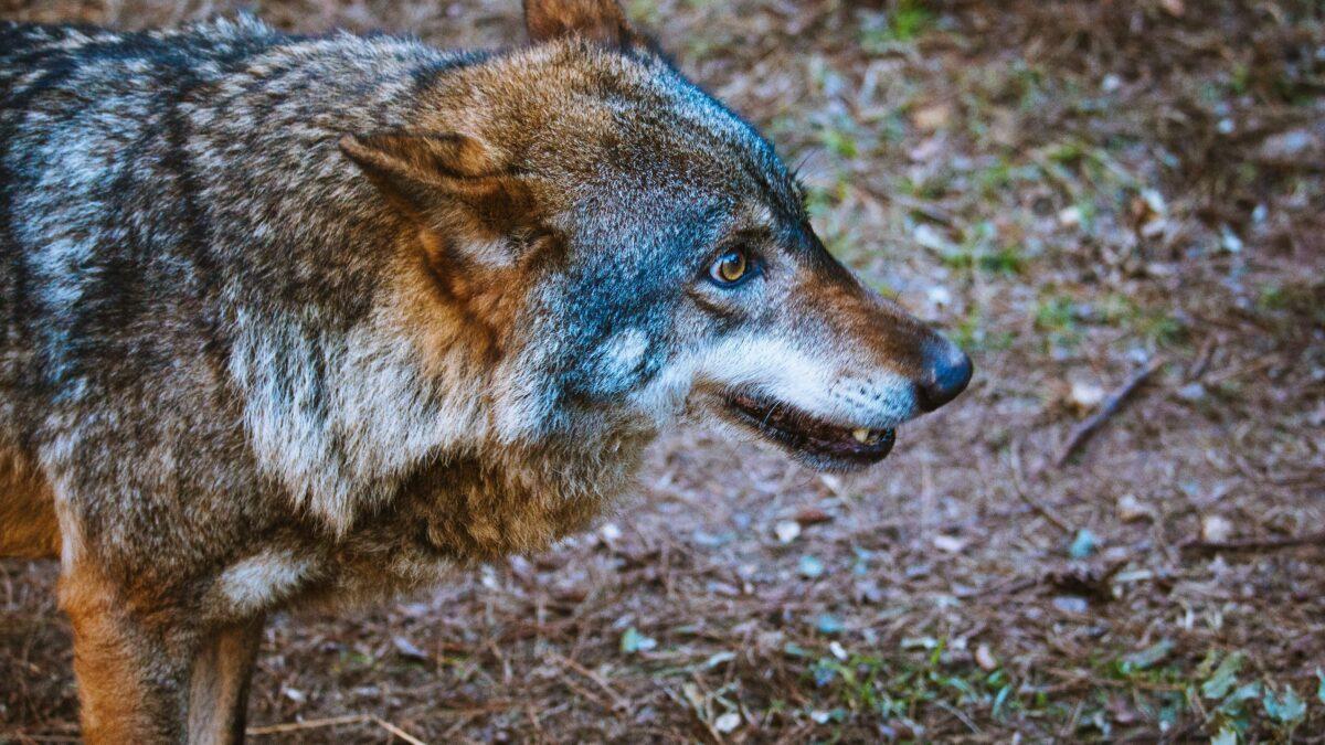 Los conflictos entre humanos lastran la protección del lobo